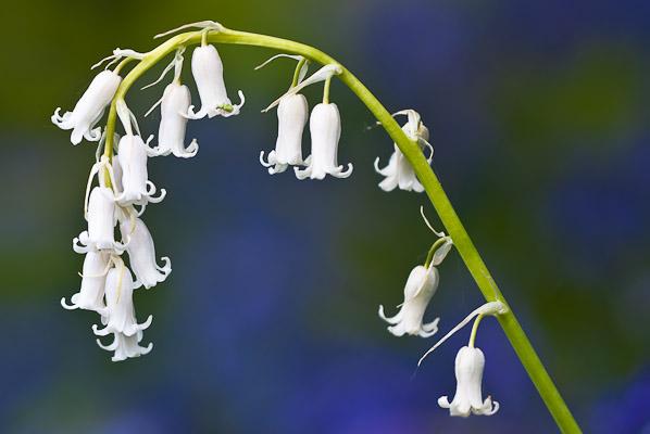 White 'Blue' Bells