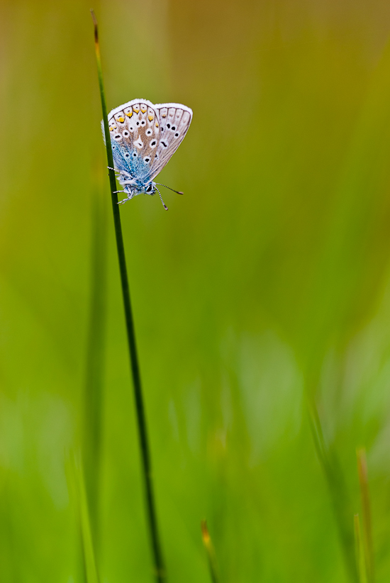 Common blue (Polyommatus icarus) – Stover Country Park, Devon, UK. JB4_4301
