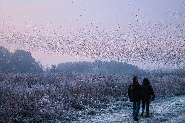 Starlings rise on a very cold morning