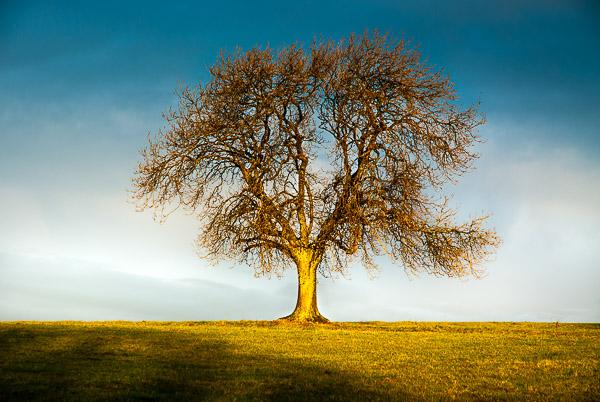 The Deerleap Tree - The Golden Hour