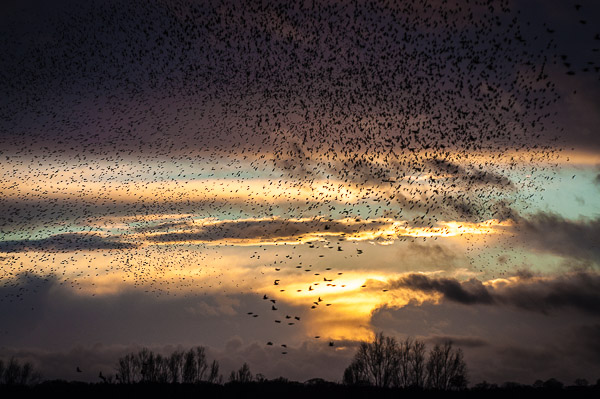 Starlings Descend into the Reed bed