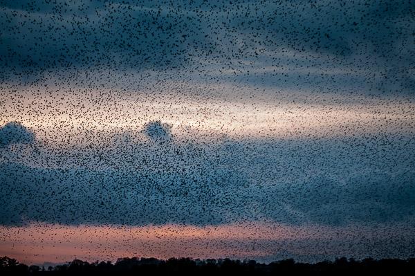 Starlings at Shapwick Heath