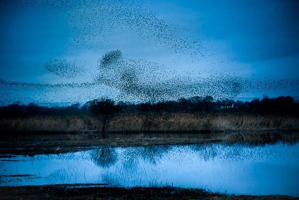 Starlings at Shapwick Heath