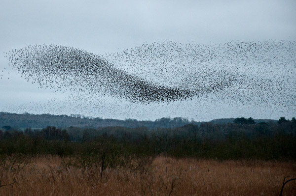 A Mexican Wave - Starling Style