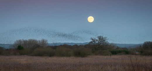 The Starlings and the Super Moon