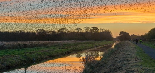 Starling Dawn First Wave