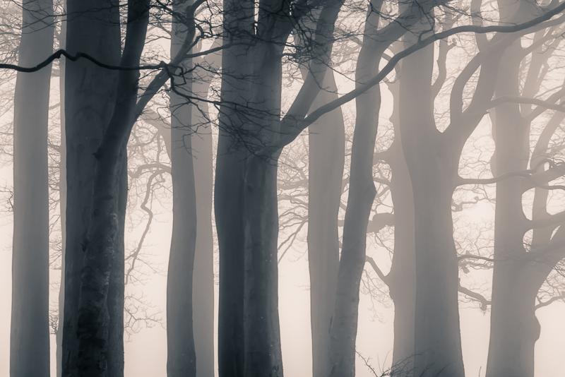Beech Trees on Pelting Drove