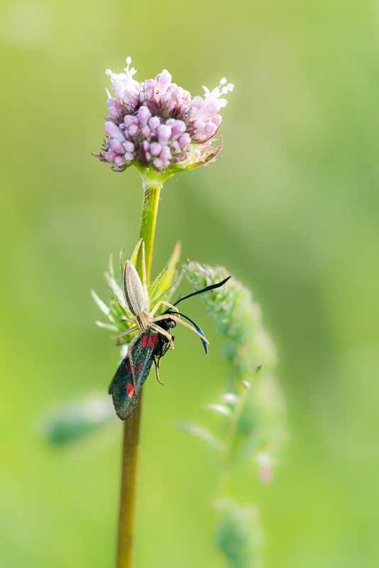 Spider and Five-spot Burnet (Zygaena trifolii)