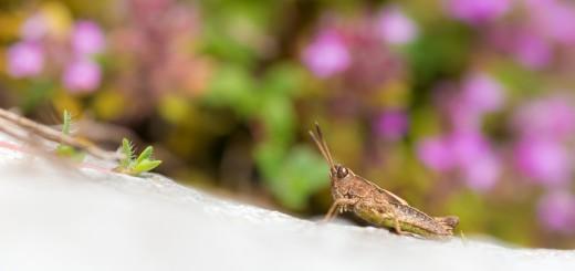 Meadown Grasshopper (Churthippus parallelus - nymph)