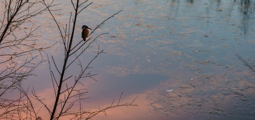 Kingfisher Sunset