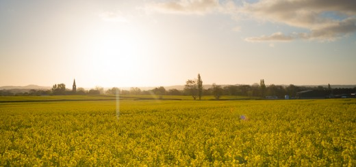 Yellow Fields at Dawn