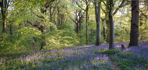 Bluebell Dawn at Park Wood