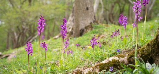 Early Purple Orchids (Orchis macula) at Round Wood