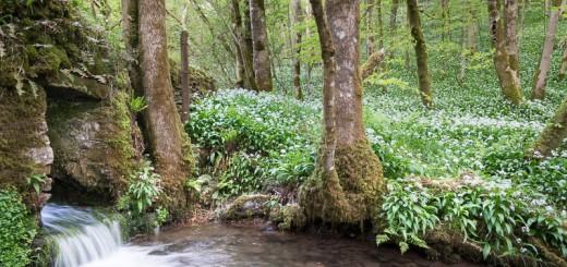Wild Garlic (Allium ursine) at Longwood