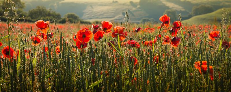 Poppy Field in the Morning