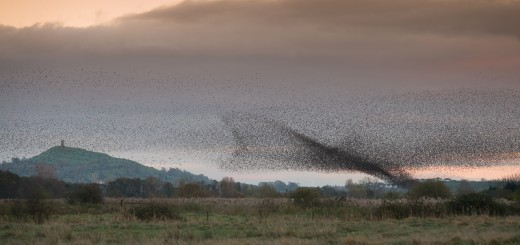 Starlings descend at Stileway