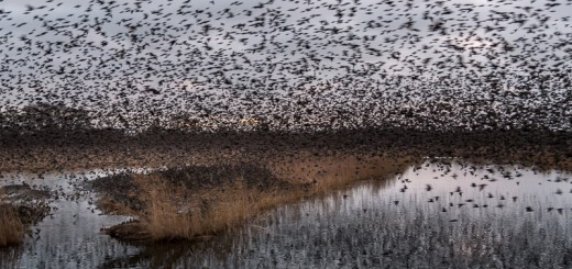 Starling Roost - Ham Wall