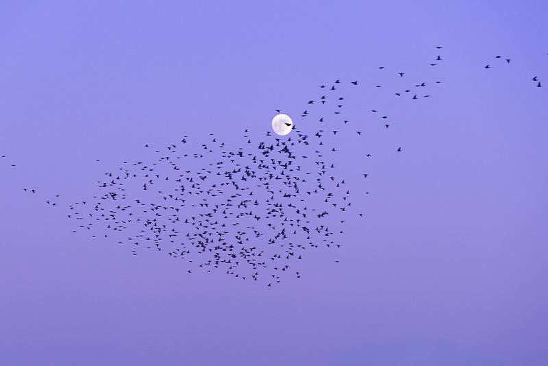 Starling Moon
