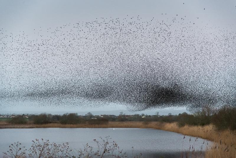 Starlings at the Scrape