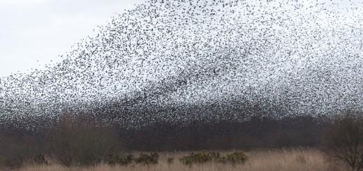 Starlings Descend