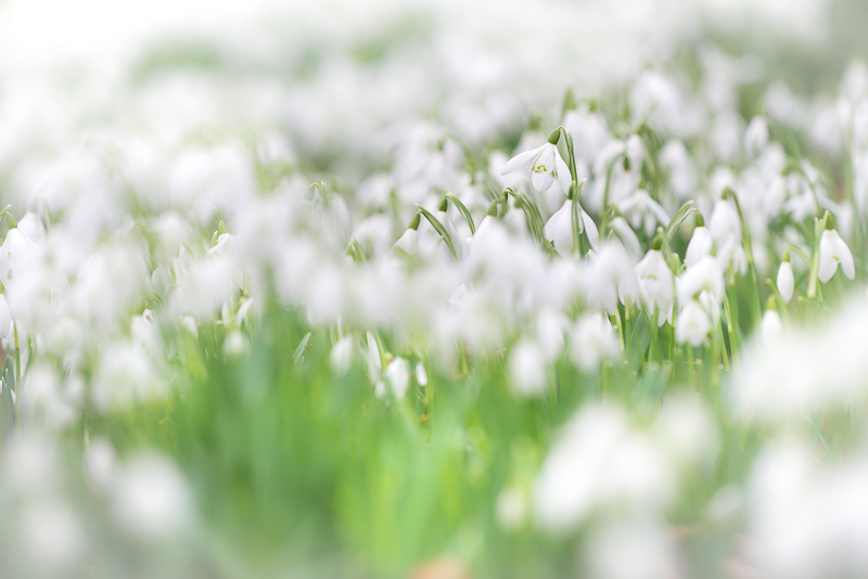 Snowdrop Lawn