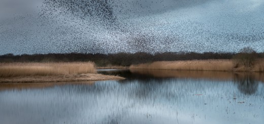 Starlings at Meare Heath