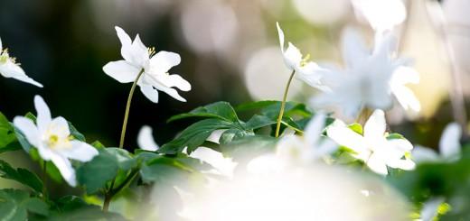 Wood Anemones, Park Wood