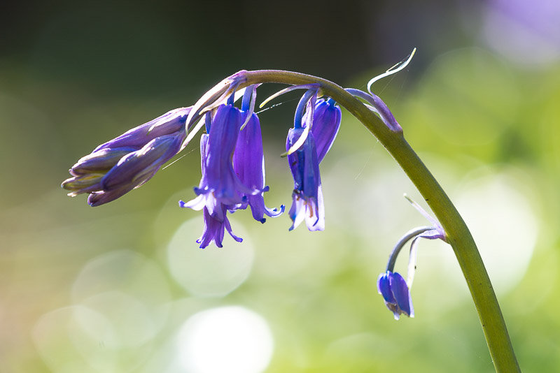 Bluebells, Park Wood