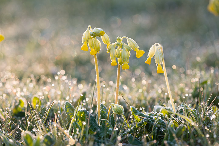 Cowslips