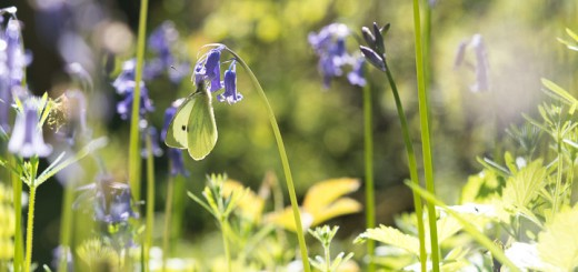 Small white butterfly on bluebells, Withial Combe
