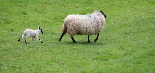 Lambs on Lynchcombe