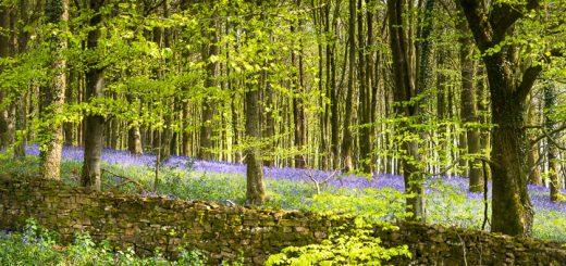 Bluebells at Pen Hill, Somerset