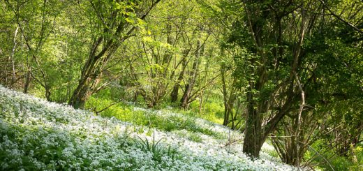 Wild Garlic, Withial Combe