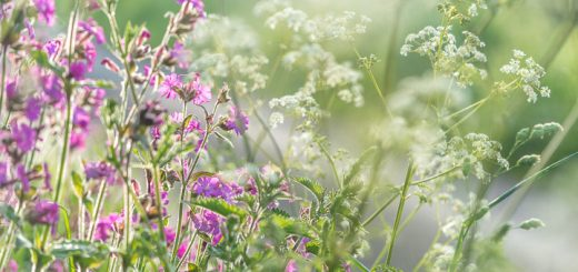 Cow Parsley and Red Campion