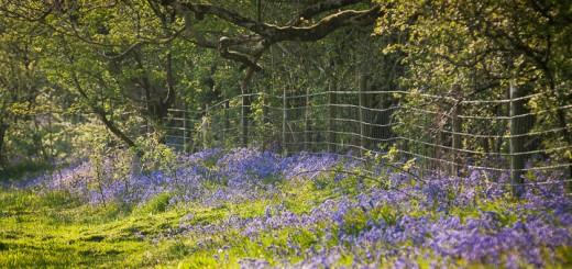 Bluebell Border - GB Gruffy, Somerset
