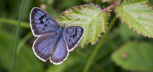 Large Blue (Maculinea arion) - Collard Hill, Somerset, UK. ID 807_6373