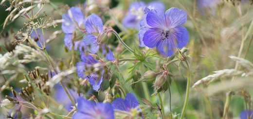 Meadow cranes-bill (Geranium pratense) - Ridge Road, Croscombe, Somerset, UK.