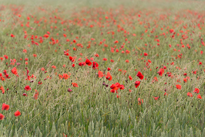 Poppies - Castle Cary, Somerset, UK.