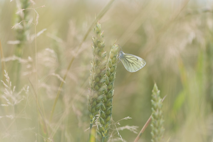 Green-veined White (Pieris napi) - Castle Cary, Somerset, UK.