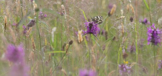 Marbled White at Edford Meadows
