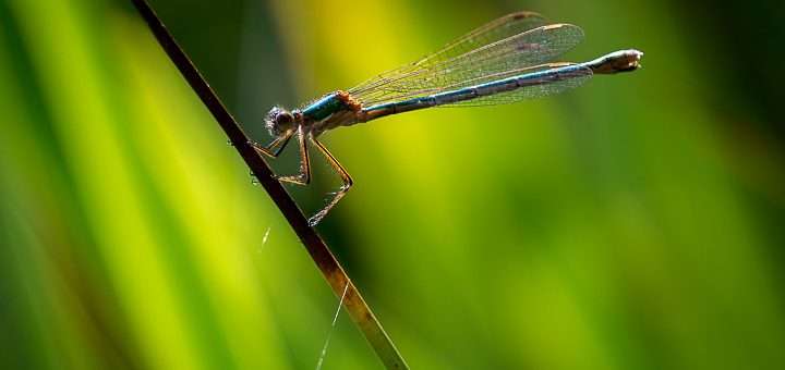 Emerald damselfly (Lestes spoons) at Waldegrave Pond on the Mendip Hills