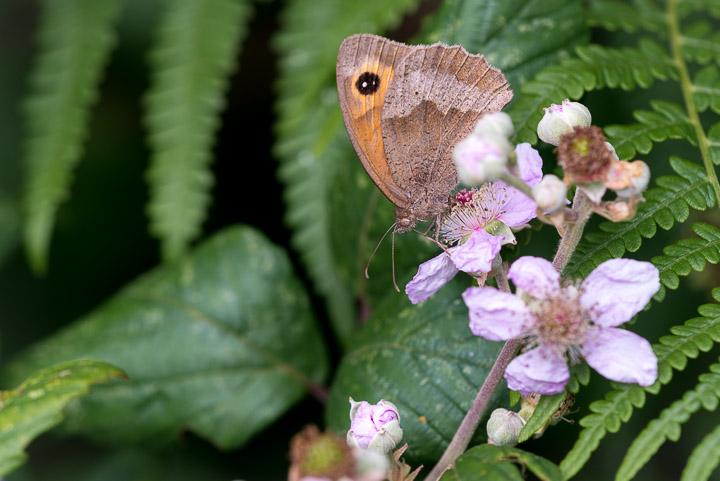 Meadow Brown (Maniola jurtina) - Lynchcombe, Somerset, UK.