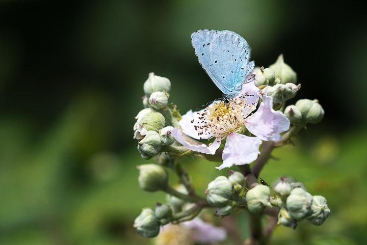 Holly Blue (Celastrina argiolus) - Lynchcombe, Somerset, UK.
