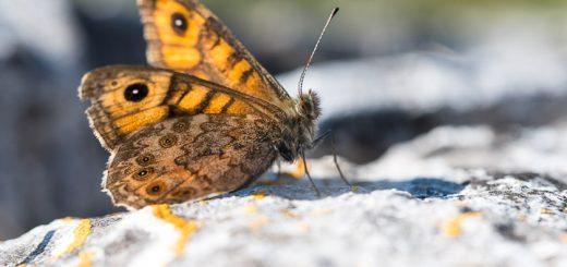 Wall (Lasiommata megera) - Draycott Sleights, Somerset, UK.
