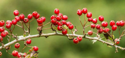 Hawthorn (Crataegus monogyna) - Lynchcombe, Somerset, UK. ID 807_0121