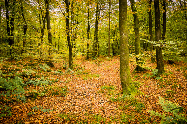 Beacon Hill Wood - Nr Shepton Mallet, Somerset, UK. ID 808_1249
