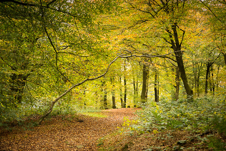 Beacon Hill Wood - Nr Shepton Mallet, Somerset, UK. ID 808_1255