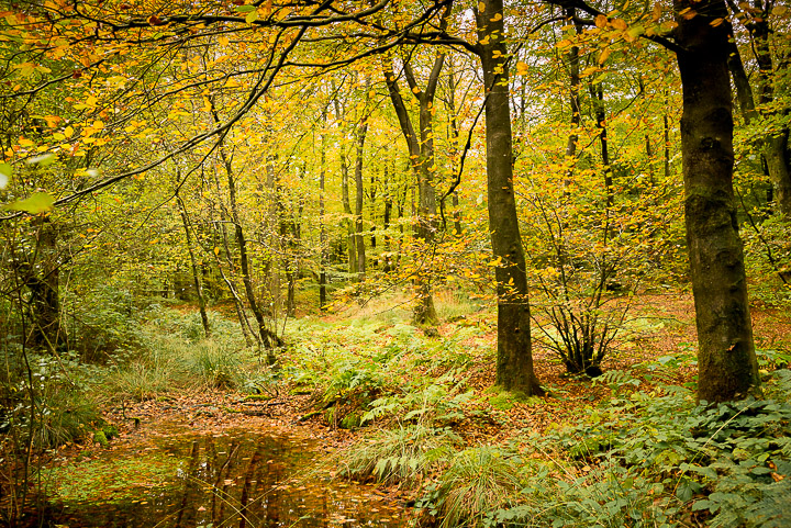 Beacon Hill Wood - Nr Shepton Mallet, Somerset, UK. ID 808_1259