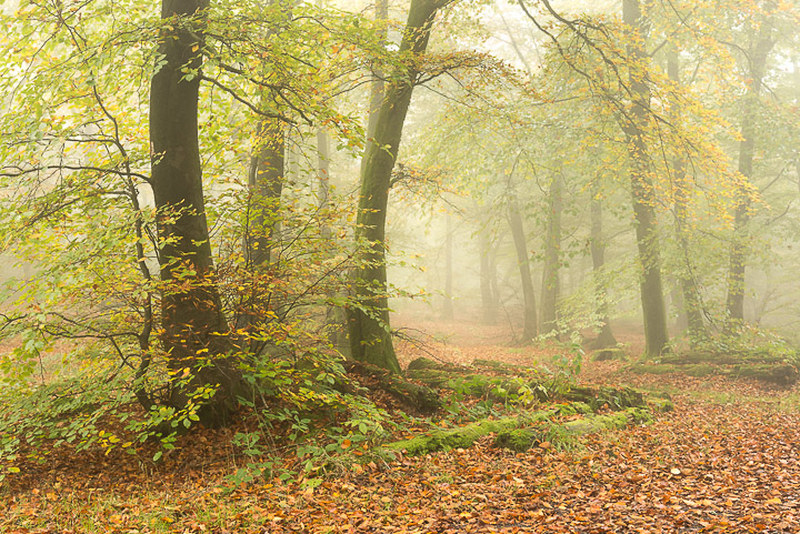 Beacon Hill Wood - Nr Shepton Mallet, Somerset, UK. ID 808_1261