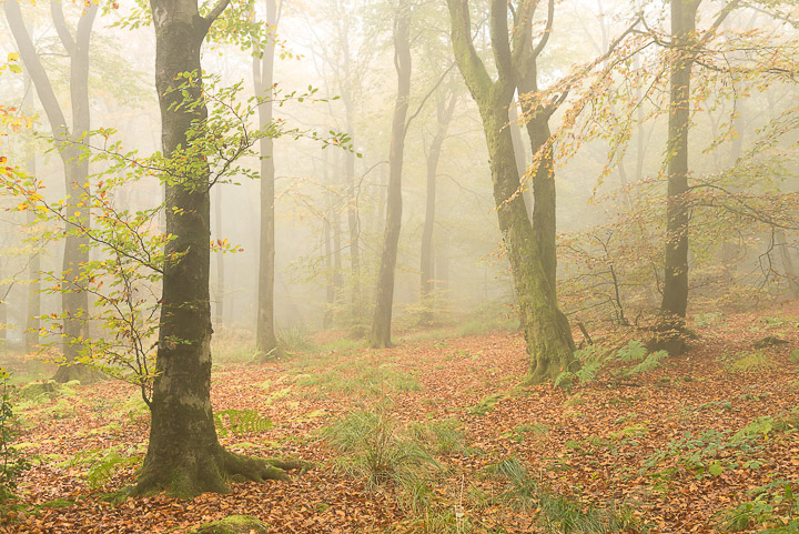 Beacon Hill Wood - Nr Shepton Mallet, Somerset, UK. ID 808_1274